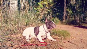 Ð¡ute French bulldog white and black color portrait resting in nature royalty free stock images