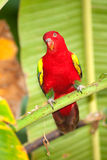 Portrait of beautiful Chattering red Lory Lorius garrulus on a banana. Royalty Free Stock Images