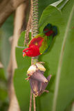 Portrait of beautiful Chattering red Lory Lorius garrulus on a banana. Stock Image