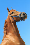 Portrait of the beautiful chestnut colour horse on the blue sky background.  royalty free stock photography