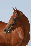 Portrait beautiful chestnut  horse Royalty Free Stock Image