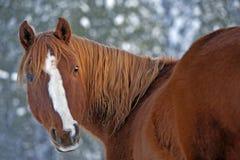 Portrait of beautiful chestnut Horse. Portrait of purebred chestnut Arabian Gelding in winter Royalty Free Stock Photos