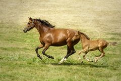 Chestnut mare galloping with her sorrel foal. Portrait of a beautiful chestnut mare running in a meadow with her baby sorrel foal in a perfect coordination of stock photo