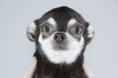 Portrait of beautiful chihuahua dog isolated on grey background Stock Photography