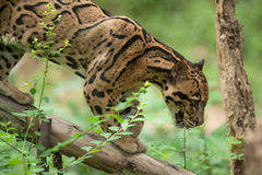 Portrait of Beautiful Clouded Leopard Stock Images