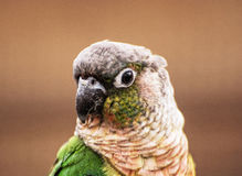 Portrait of beautiful colorful parrot, bird scene Royalty Free Stock Photos