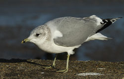 Portrait of a beautiful Common Gull, Larus canus standing on the sea wall. royalty free stock photo
