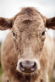 Portrait of a beautiful cow bull who looks into the camera Outdoors Stock Images
