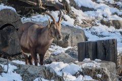 Portrait of beautiful cute ibex in winter season. Slovenia stock image