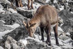 Portrait of beautiful cute ibex in winter season. Slovenia stock photo