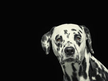 Portrait of beautiful Dalmatian dog looking at camera isolated on black. Background Royalty Free Stock Photo