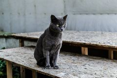Beautiful Dark Gray Street Cat Portrait royalty free stock photo