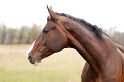 Portrait of beautiful dark horse in autumn Royalty Free Stock Photos