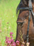 Portrait of beautiful dark mare closeup Stock Photography