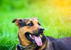 portrait of a beautiful dog royalty free stock images
