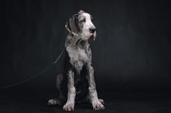 Portrait of a beautiful dog. On a black background Royalty Free Stock Images