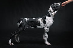 Portrait of a beautiful dog. On a black background Stock Images