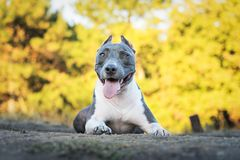Portrait beautiful dog blue american staffordshire terrier pit bull puppy walking outdoor in autumn forest