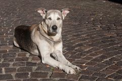 Dog with blue eyes sitting in the street. Portrait of beautiful dog with blue eyes sitting in the street Stock Photography
