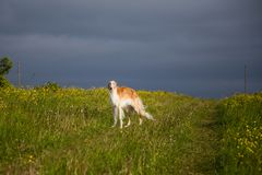 Portrait of gorgeous dog breed russian borzoi standing in the green grass and yellow buttercup field in summer. Portrait of beautiful dog breed russian borzoi royalty free stock images