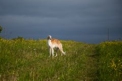 Portrait of gorgeous dog breed russian borzoi standing in the green grass and yellow buttercup field in summer. Portrait of beautiful dog breed russian borzoi stock photo