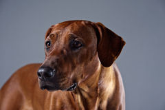 Portrait of a beautiful dog rhodesian ridgeback isolated on grey Royalty Free Stock Photo