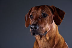 Portrait of a beautiful dog rhodesian ridgeback isolated on grey Royalty Free Stock Images