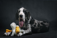 Portrait of a beautiful dog Royalty Free Stock Photos