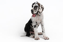 Portrait of a beautiful dog. On a white background Royalty Free Stock Photo