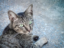 Portrait of beautiful domestic cat. / Selective focus with place your text Royalty Free Stock Images