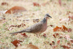 Portrait beautiful dove bird Royalty Free Stock Images