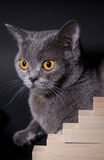 Portrait of a beautiful Dritish cat. Black background Royalty Free Stock Image