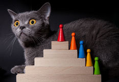 Portrait of a beautiful Dritish cat. Black background Stock Images