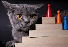 Portrait of a beautiful Dritish cat. Black background Stock Image
