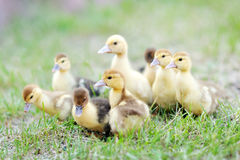 Portrait of beautiful ducklings Royalty Free Stock Images