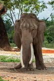 Portrait of a Beautiful Elephant royalty free stock photos