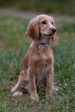 Portrait of a beautiful english cocker spaniel Royalty Free Stock Images