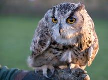 Portrait of European eagle-owl with orange eyes, also known as the Eurasian eagle owl. Portrait of beautiful European eagle-owl, also known as the Eurasian royalty free stock image