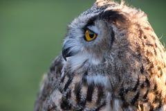 Portrait of European eagle-owl with orange eyes, also known as the Eurasian eagle owl. Portrait of beautiful European eagle-owl, also known as the Eurasian stock photos