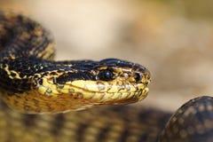 Portrait of beautiful european snake. Blotched snake, Elaphe sauromates Stock Image
