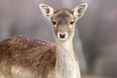 Portrait of beautiful fallow deer doe Royalty Free Stock Photo