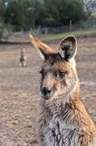 Portrait of beautiful female Australian Kangaroo. There is another kangaroo standing at the far back Stock Photos