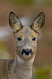 The Roe Deer (Capreolus capreolus) Portriat Royalty Free Stock Photos