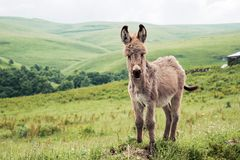 Portrait of a beautiful fluffy ass, Equus asinus, in the middle of a green meadow. On a sunny morning.  royalty free stock photo