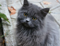Portrait of a beautiful fluffy cat. Portrait of a beautiful gray fluffy cat Stock Image