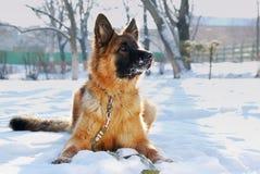 Portrait of beautiful fluffy German shepherd dog Junior puppy in a winter snowy field. nine months age Royalty Free Stock Image