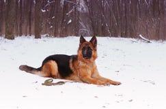 Portrait of beautiful fluffy German shepherd dog Junior puppy in a winter snowy field. nine months age Stock Images