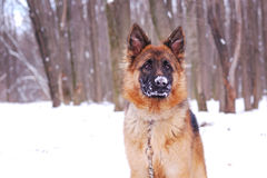 Portrait of beautiful fluffy German shepherd dog Junior puppy in a winter snowy field. nine months age Royalty Free Stock Photography