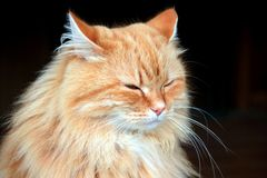 Portrait of a beautiful fluffy ginger cat on a black background. Royalty Free Stock Images