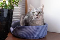 Portrait of beautiful gray tabby cat with green eyes on a cat bed near to a window and pot plant royalty free stock image